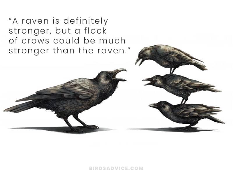 Strength crows vs ravens
