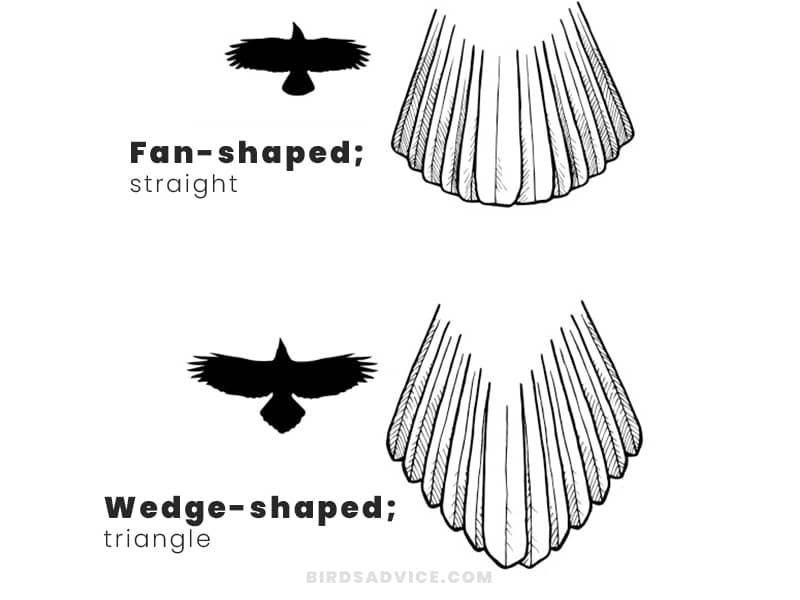 Tail crows vs ravens
