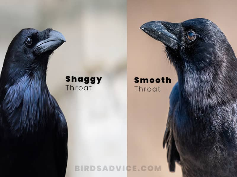 Throat crows vs ravens