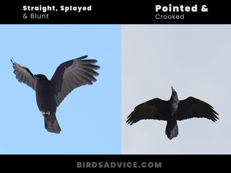 Wings crows vs ravens