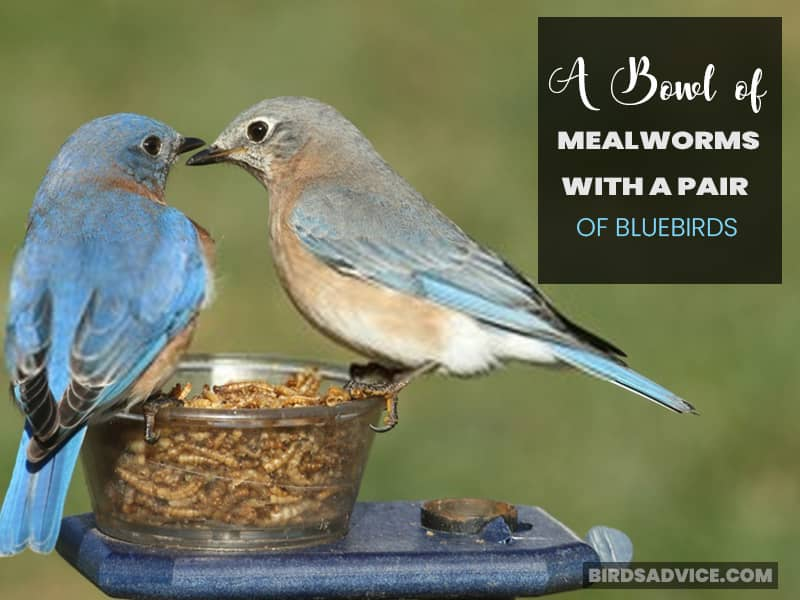 A Bowl of Mealworms with a Pair of Bluebirds