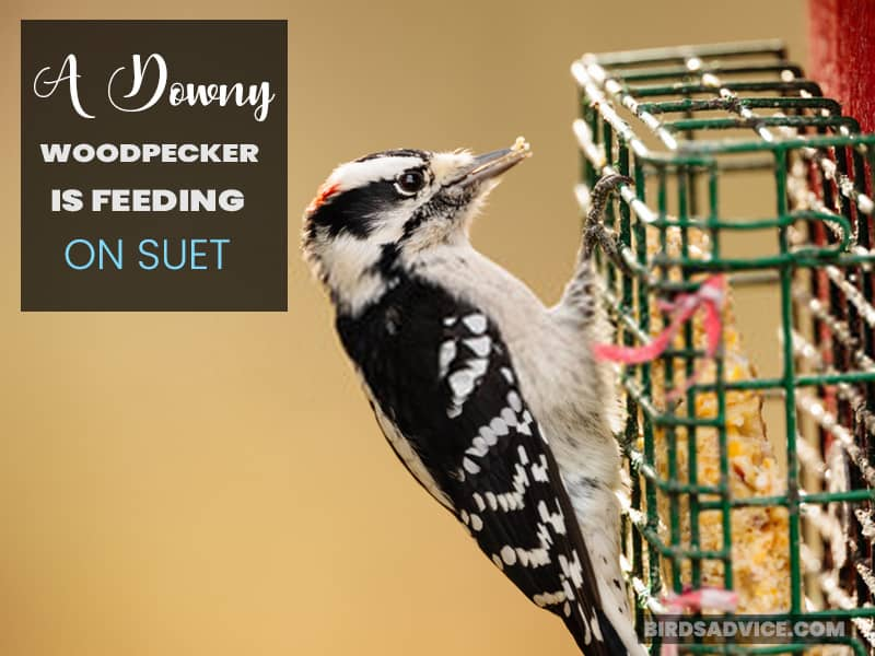 A Downy Woodpecker is Feeding on Suet
