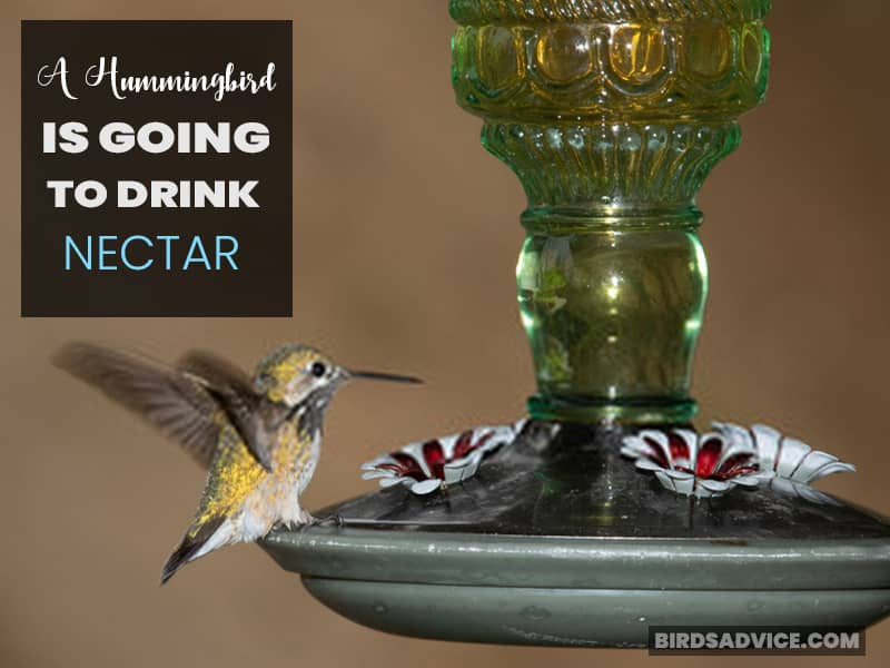 A Hummingbird is Going to Drink Nectar