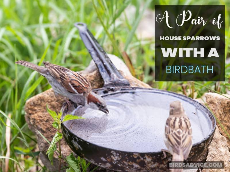 A Pair of House Sparrows with a Birdbath