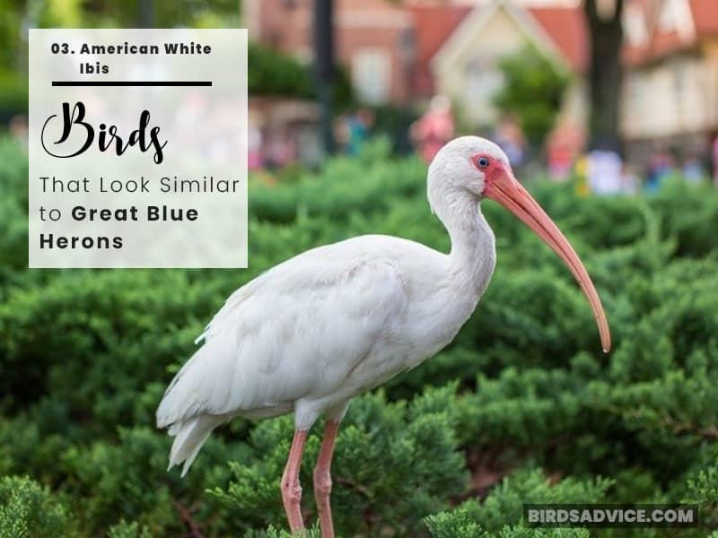 American-White-Ibis