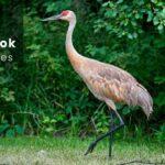 10 Birds That Look Like Cranes | Sandhill Crane