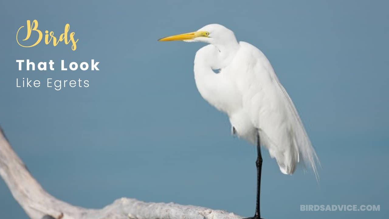 10 Birds That Look Like Egrets | Great Egret