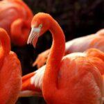 10 Birds That Look Like Flamingos | American Flamingo