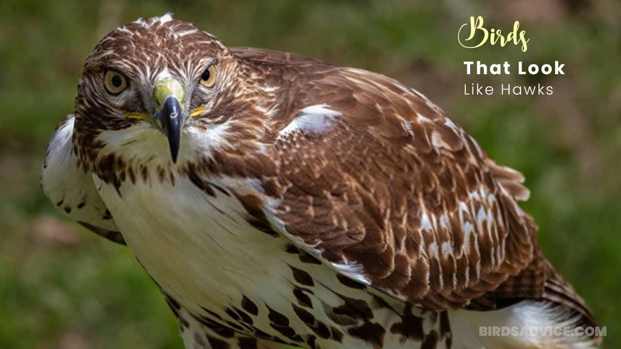 10 Birds That Look Like Hawks | Red-Tailed Hawk