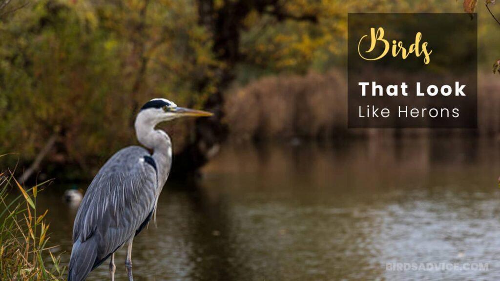 Birds-That-Look-Like-Herons