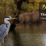 10 Birds That Look Like Herons | Great Blue Heron
