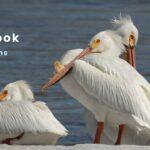 10 Birds That Look Like Pelicans | American White Pelican