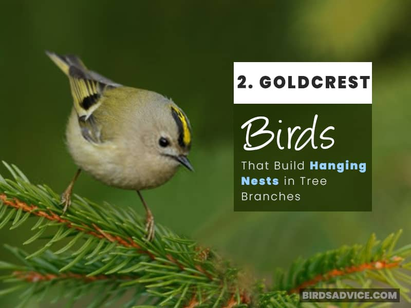 Goldcrest Bird