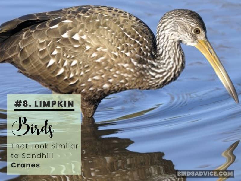 Limpkin Birds