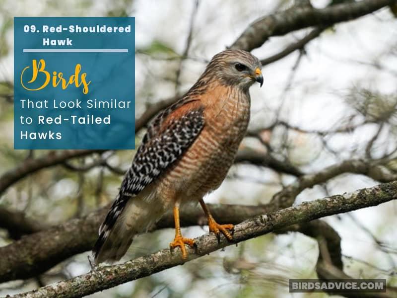 Red-Shouldered-Hawk