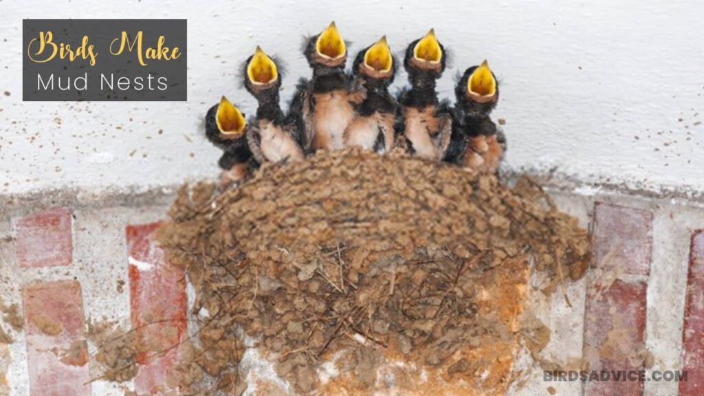 Birds That Make Mud Nests