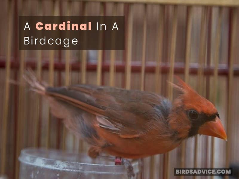 A Cardinal In A Birdcage