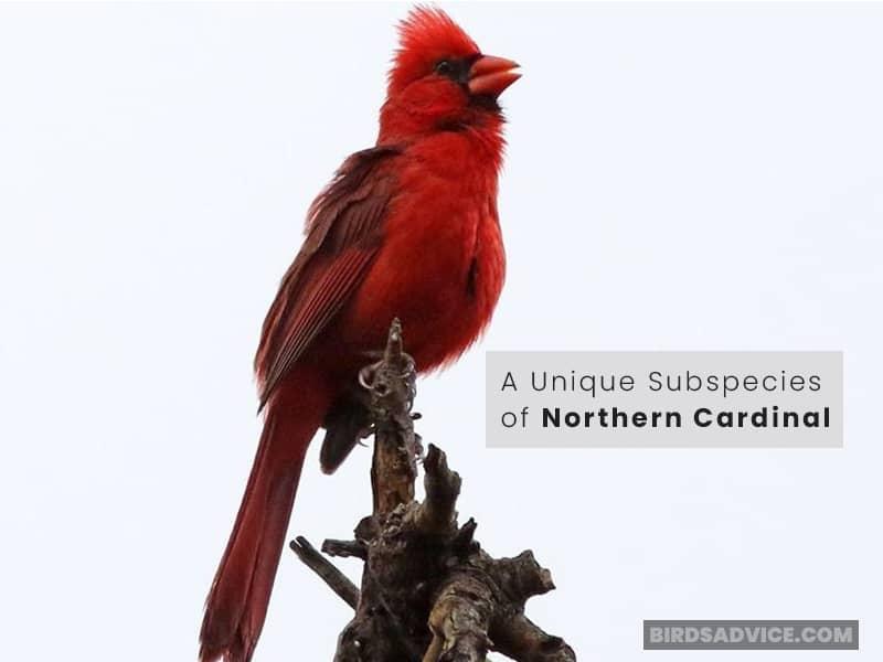 A Unique Subspecies of Northern Cardinal