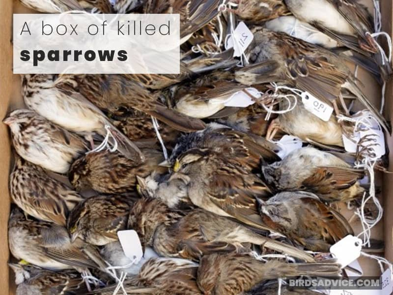A box of killed sparrows