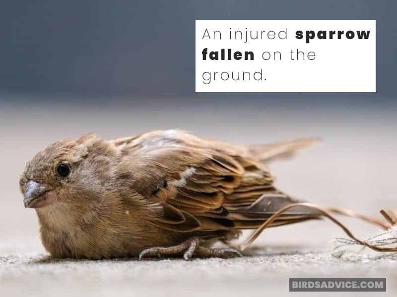 An injured sparrow fallen on the ground.