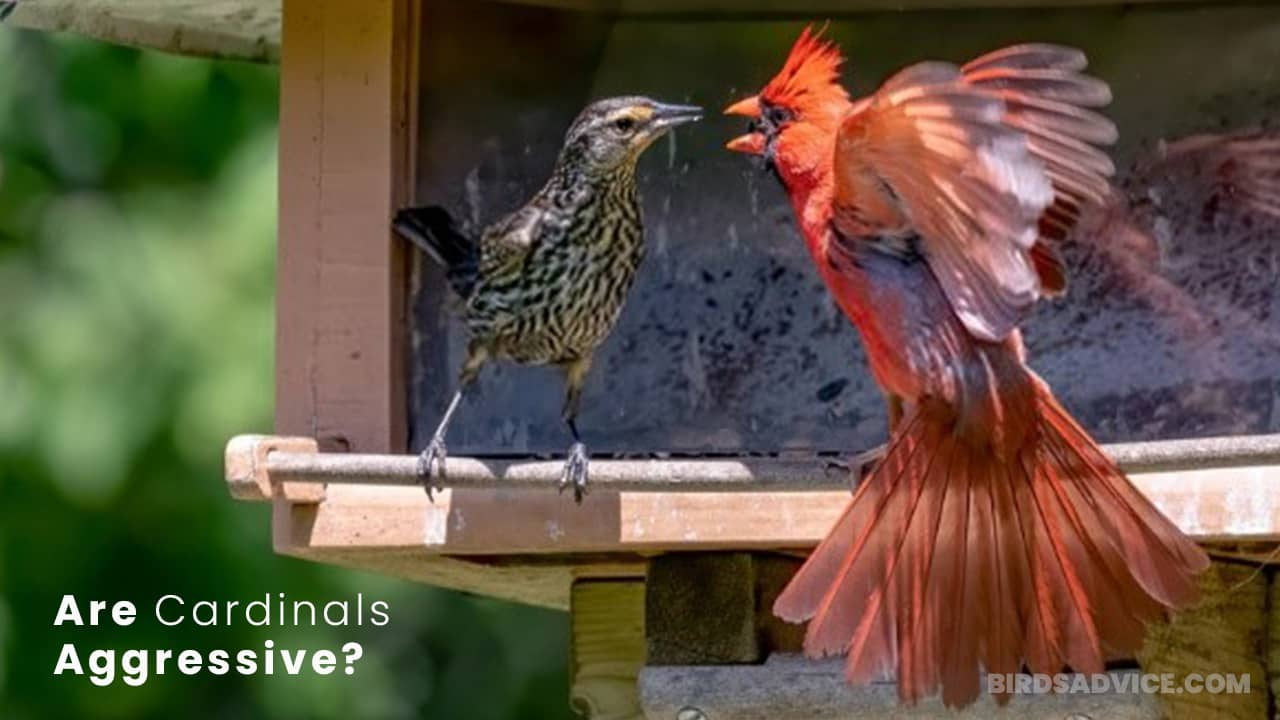 Are Cardinals Aggressive? To Humans And Other Birds?