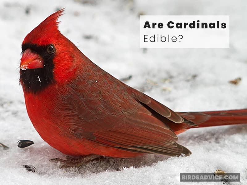 Are Cardinals Edible?
