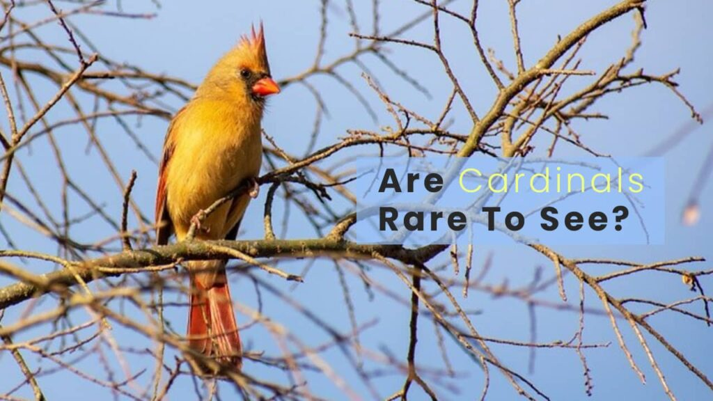 Are Cardinals Rare To See