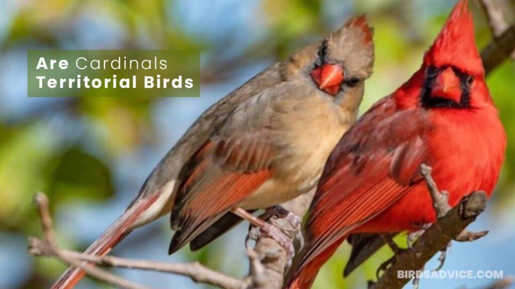 Are Cardinals Territorial Birds