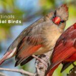 Are Cardinals Territorial Birds? Birds Advice Guide