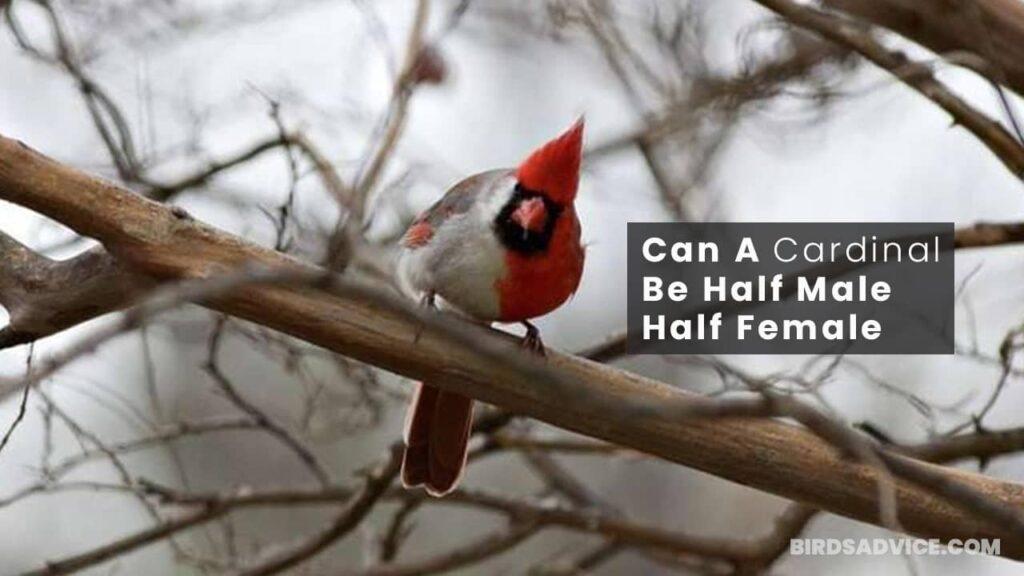 Can A Cardinal Be Half Male Half Female