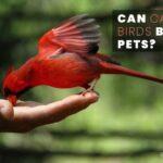 Can Cardinal Birds Be Pets? The Laws Of Owning Cardinals