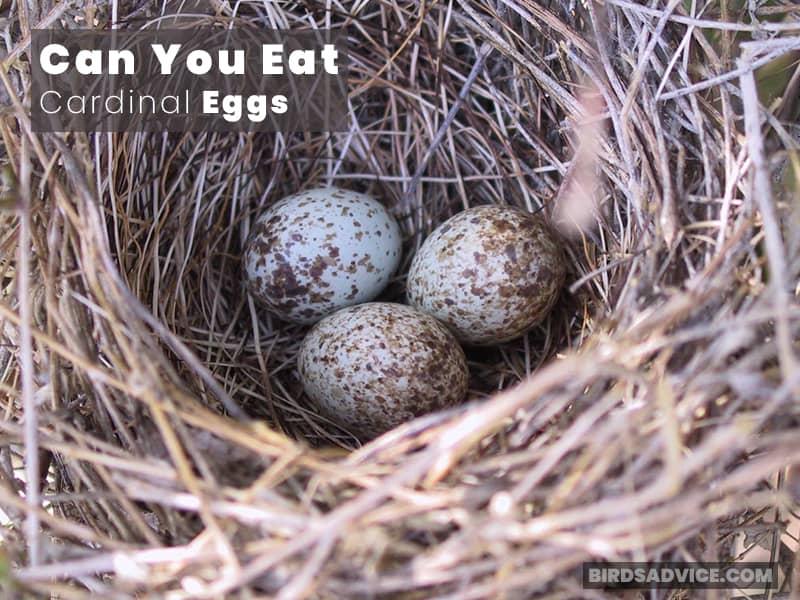 Can You Eat Cardinal Eggs?