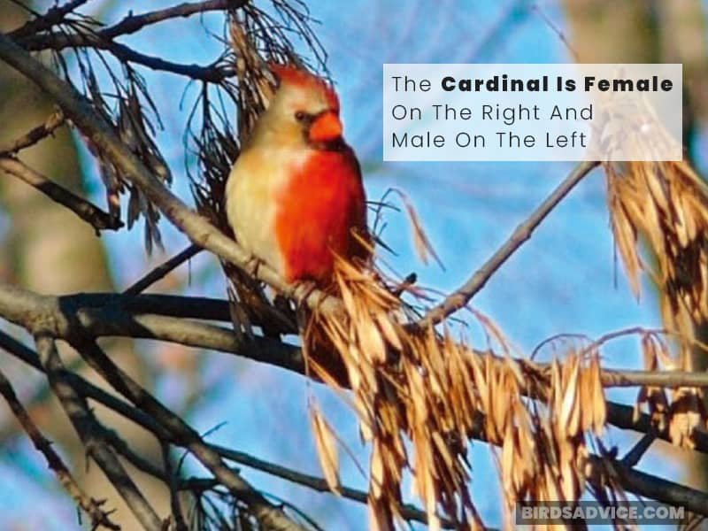 The Cardinal Is Female On The Right And Male On The Left