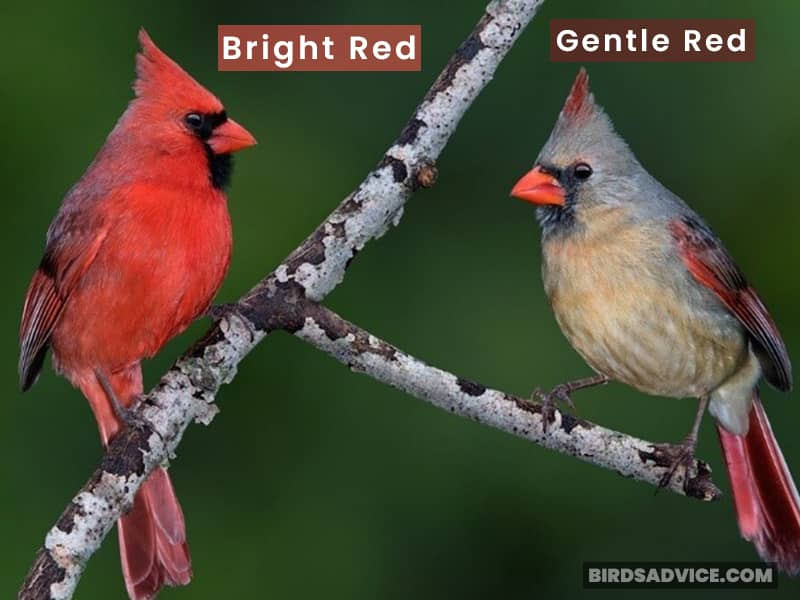 Cardinal Male And Female Crest