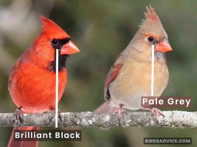 Cardinal Male And Female Face