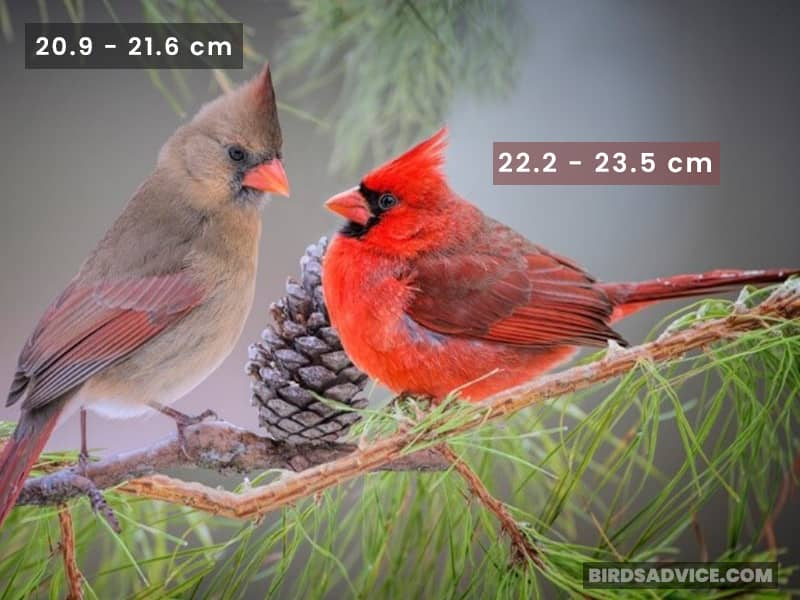 Cardinal Male And Female Size