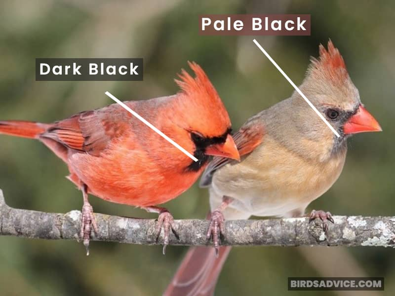 Cardinal Male And Female Throat