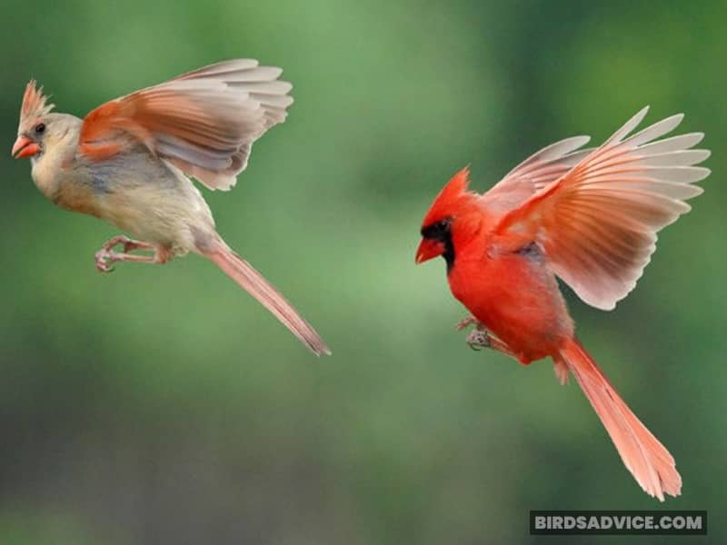 Cardinal Male And Female Wings