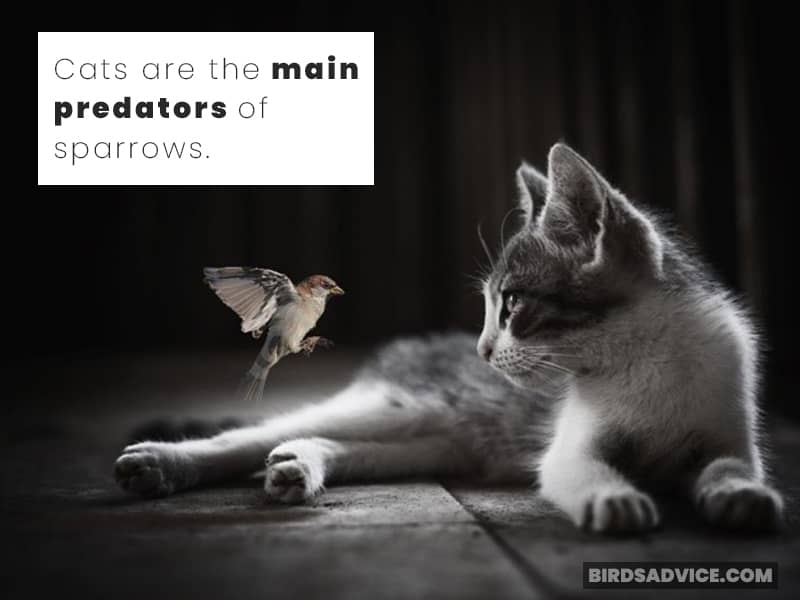 Cats are the main predators of sparrows