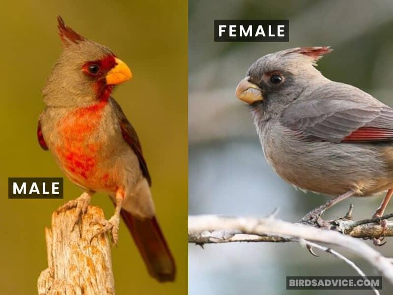 Desert Cardinal Male And Female