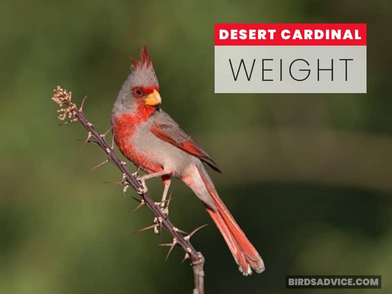 Desert Cardinal (Pyrrhuloxia) Weight