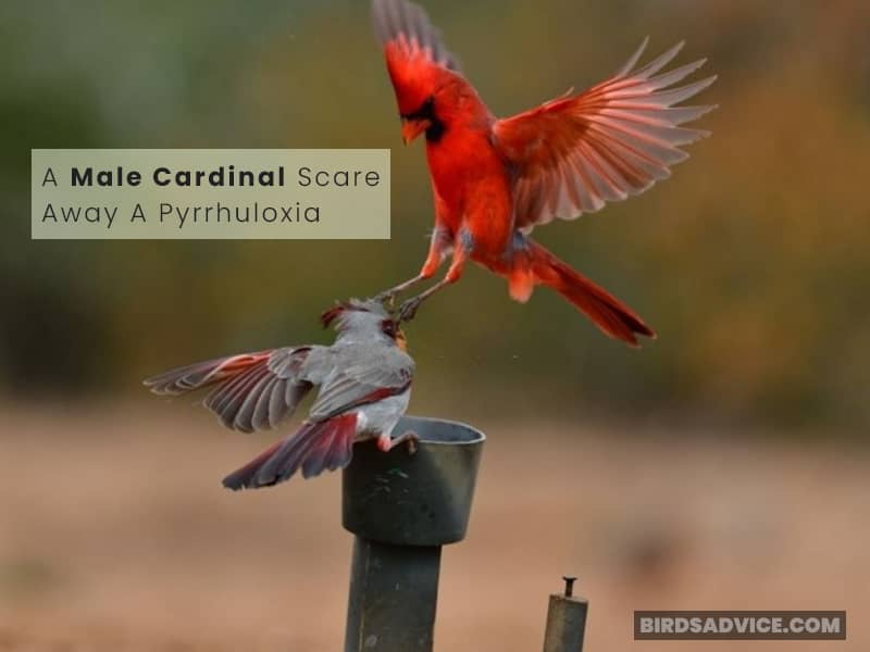 Do Cardinals Chase Off Other Birds to Protect Their Territory?