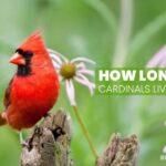How Long Do Cardinals Live? Lifespan Of Various Cardinals