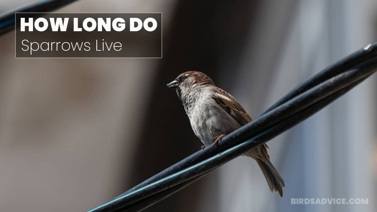 How Long Do Sparrows Live? The Lifespan Of Various Sparrows