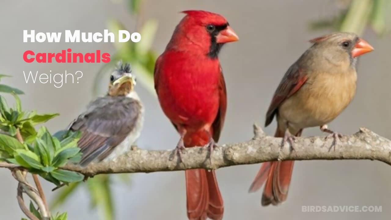 How Much Do Cardinals Weigh