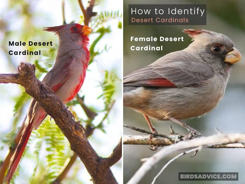 How to Identify Desert Cardinals