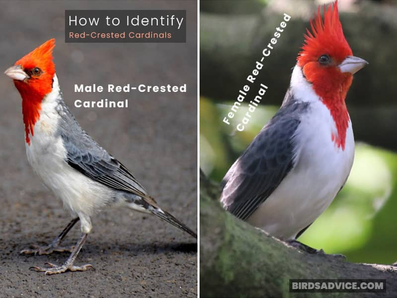 How to Identify Red-Crested Cardinals