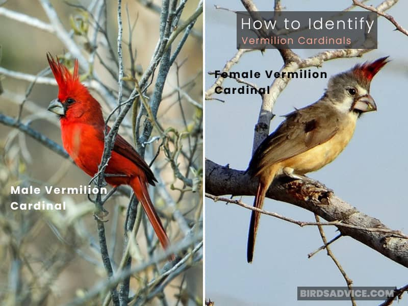 How to Identify Vermilion Cardinals
