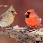 Male VS Female Cardinal: How To Tell Them Apart