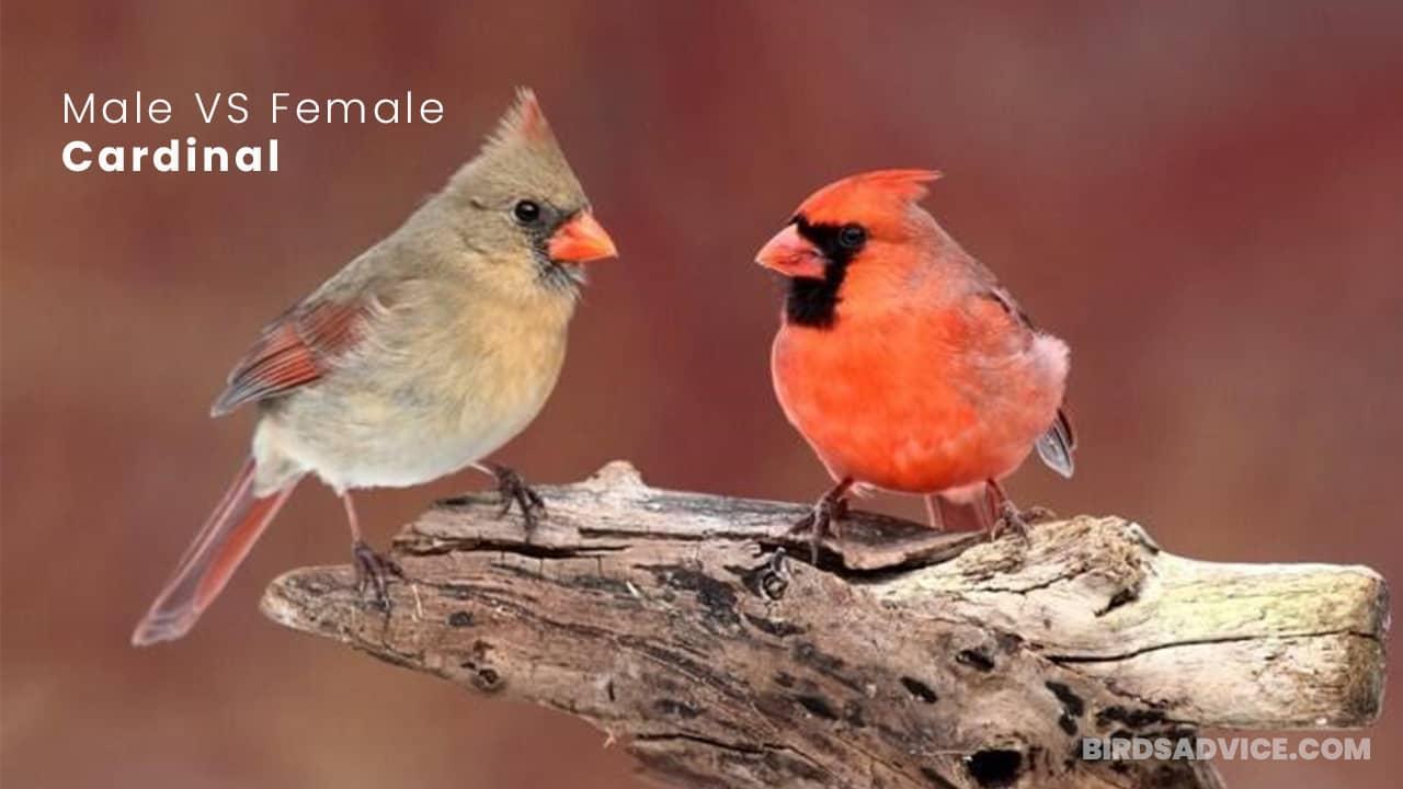 Male VS Female Cardinal